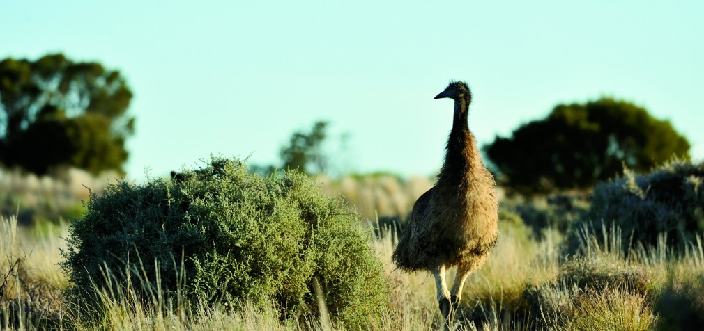 AGENTS E&O—NOT COVERAGE FOR LARGE FLIGHTLESS BIRDS